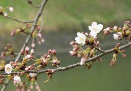 気が早い桜開花情報